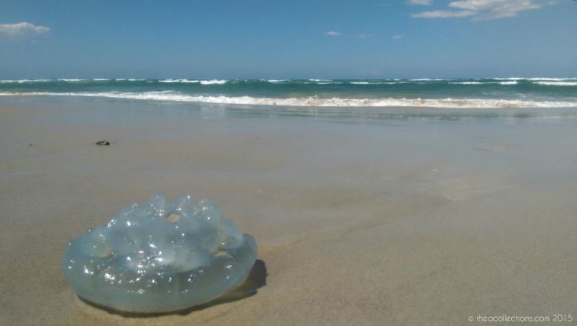 Jellyfish off Seven Mile Beach, Lennox Head NSW